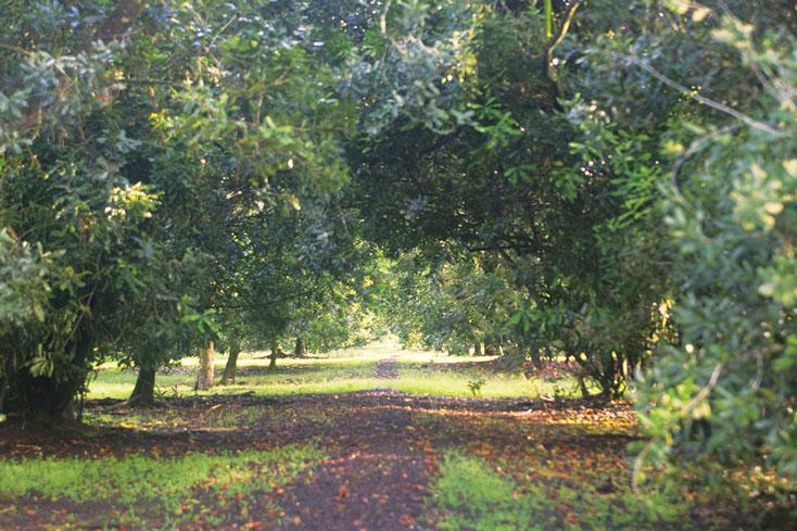 マウナロアツリー